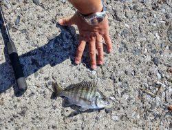 フカセでチヌ 投げ釣りでマゴチ