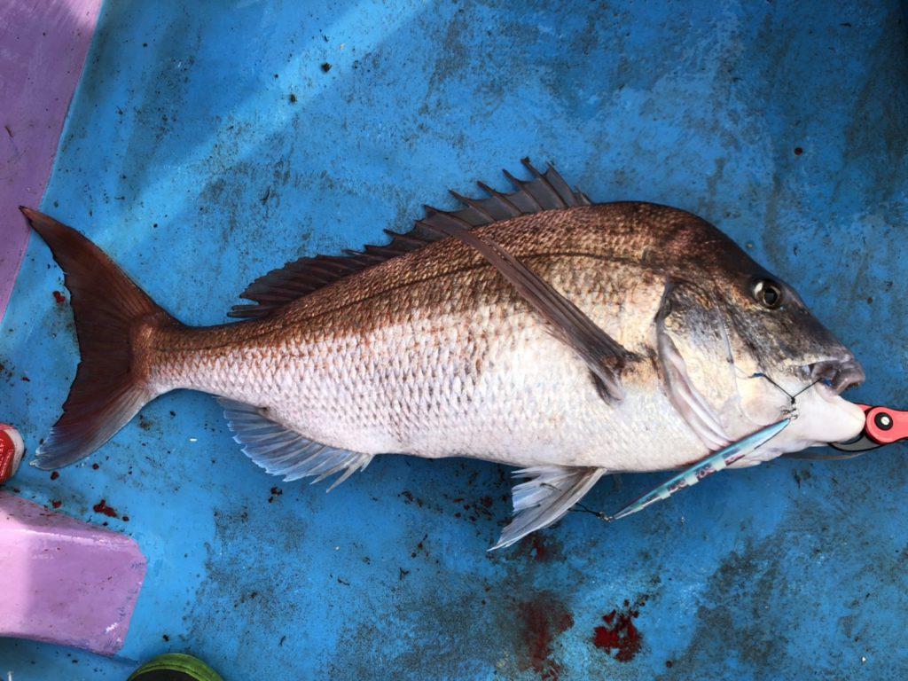 津軽海峡の真鯛