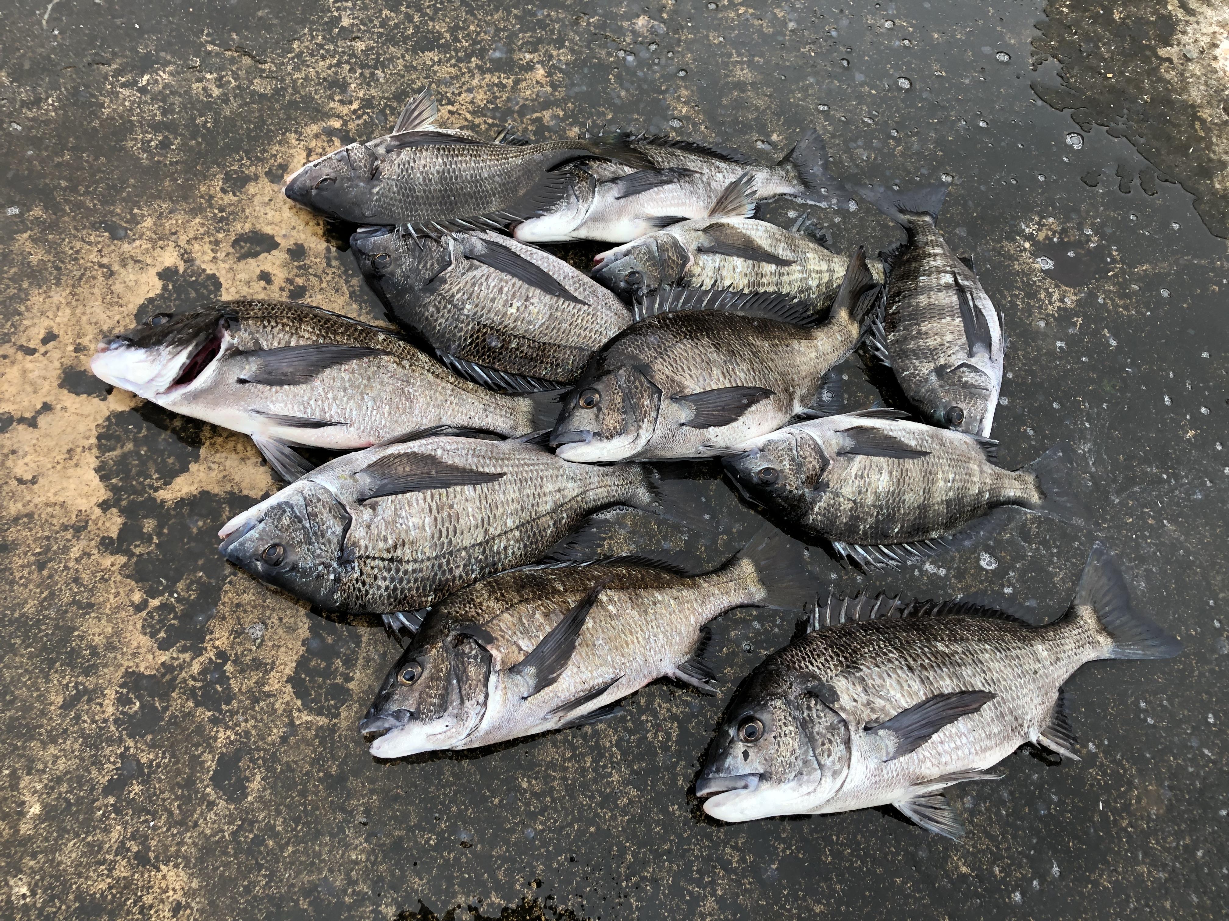 日本海佐渡 チヌ釣り