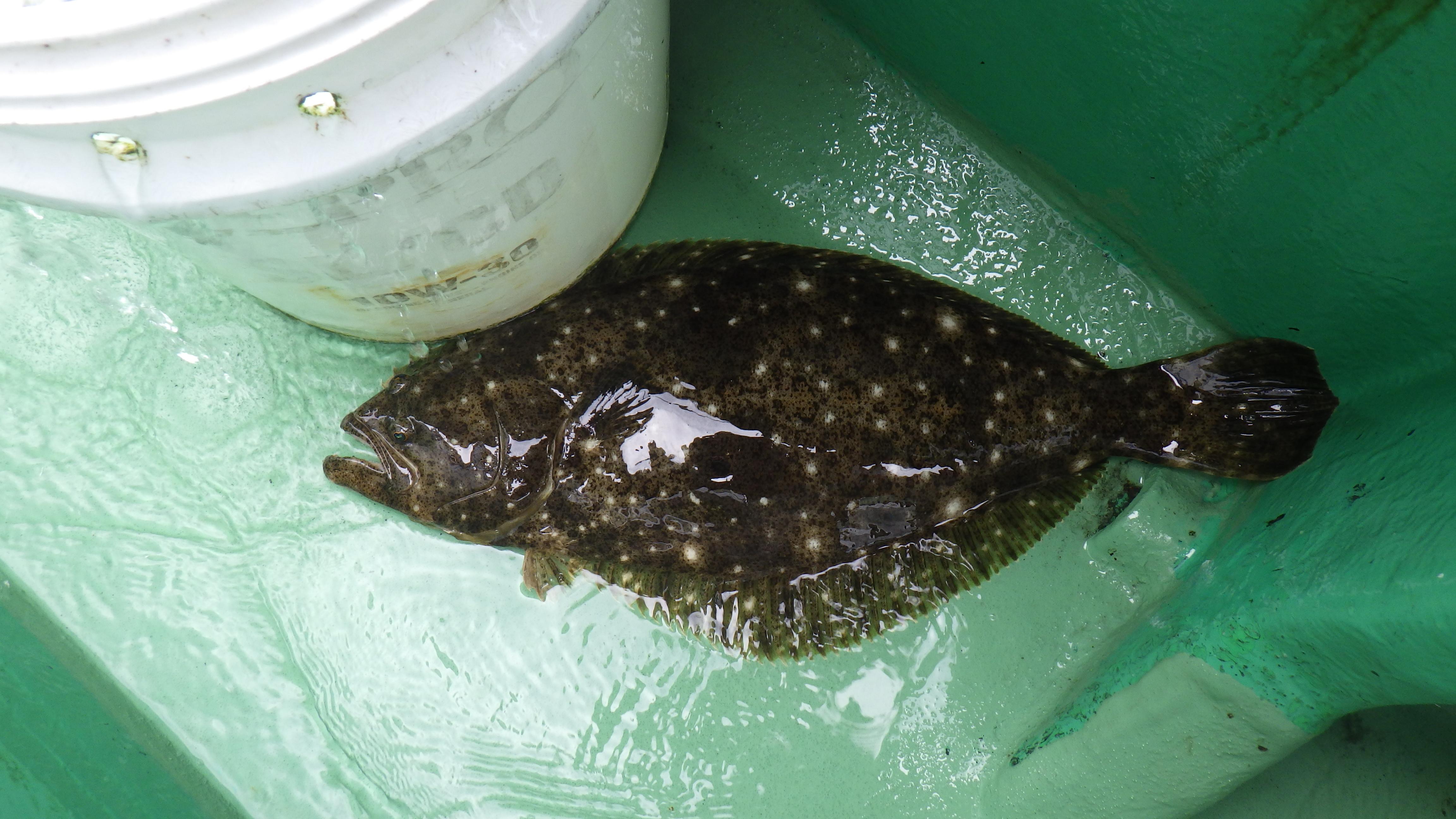 仙台湾のヒラメ釣り