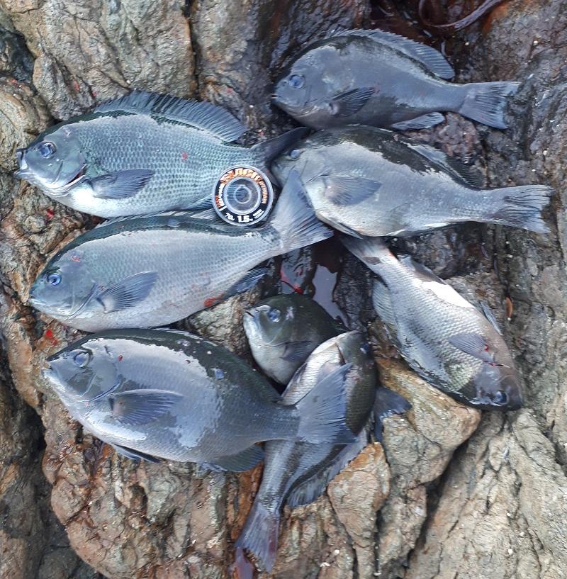 米水津でグレ釣り