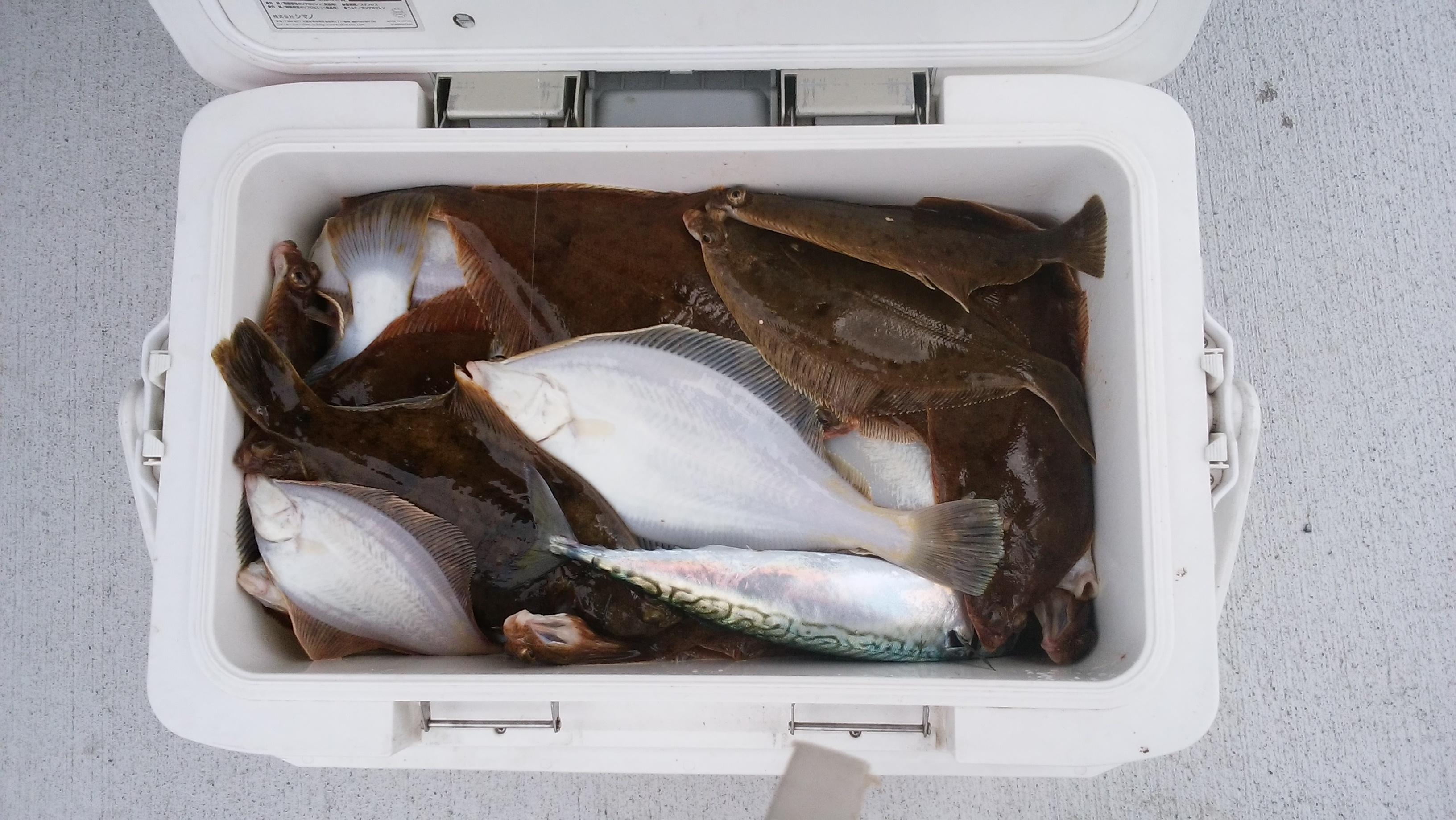 爆釣!仙台湾のカレイ釣り