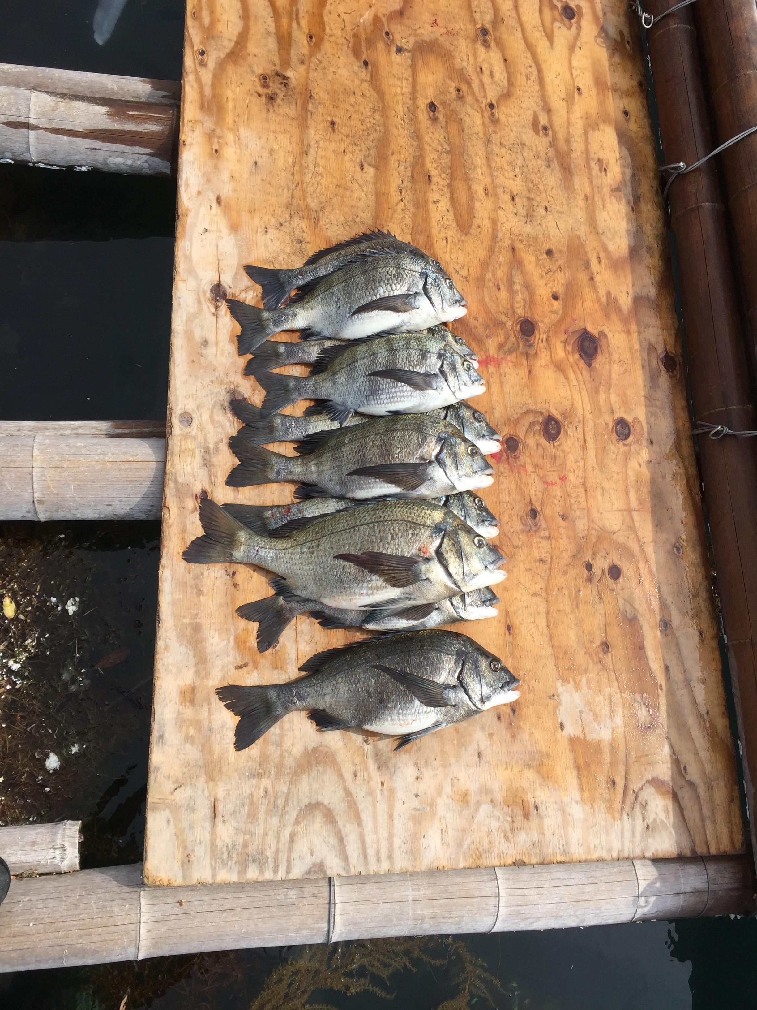 今年初のチヌ釣り