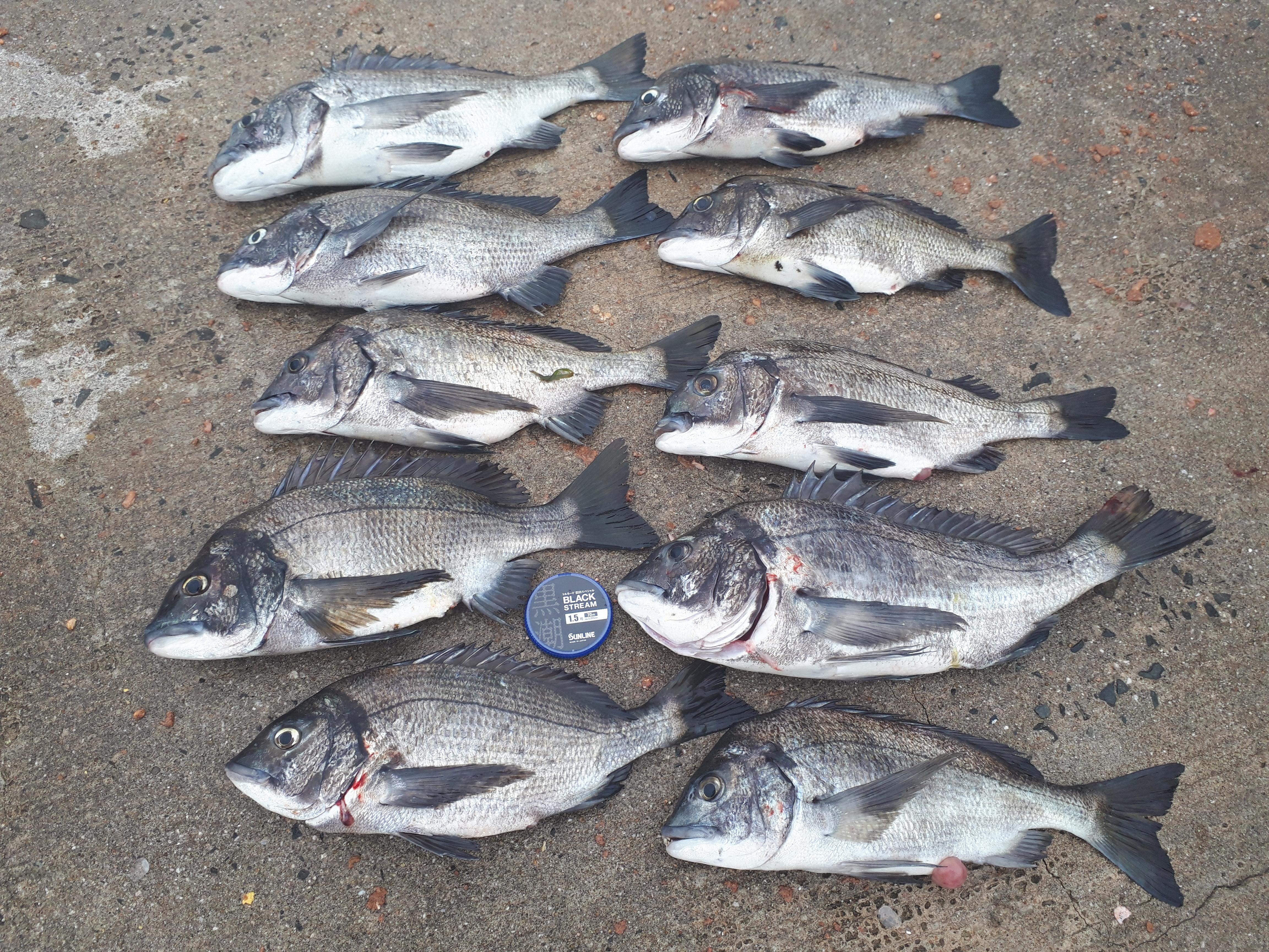 八島でチヌ釣り