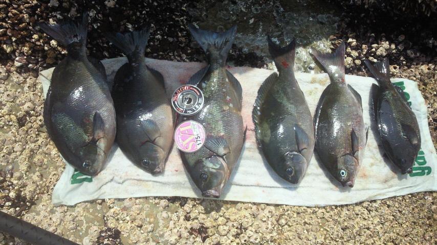 久しぶりの五島、クロ釣り。