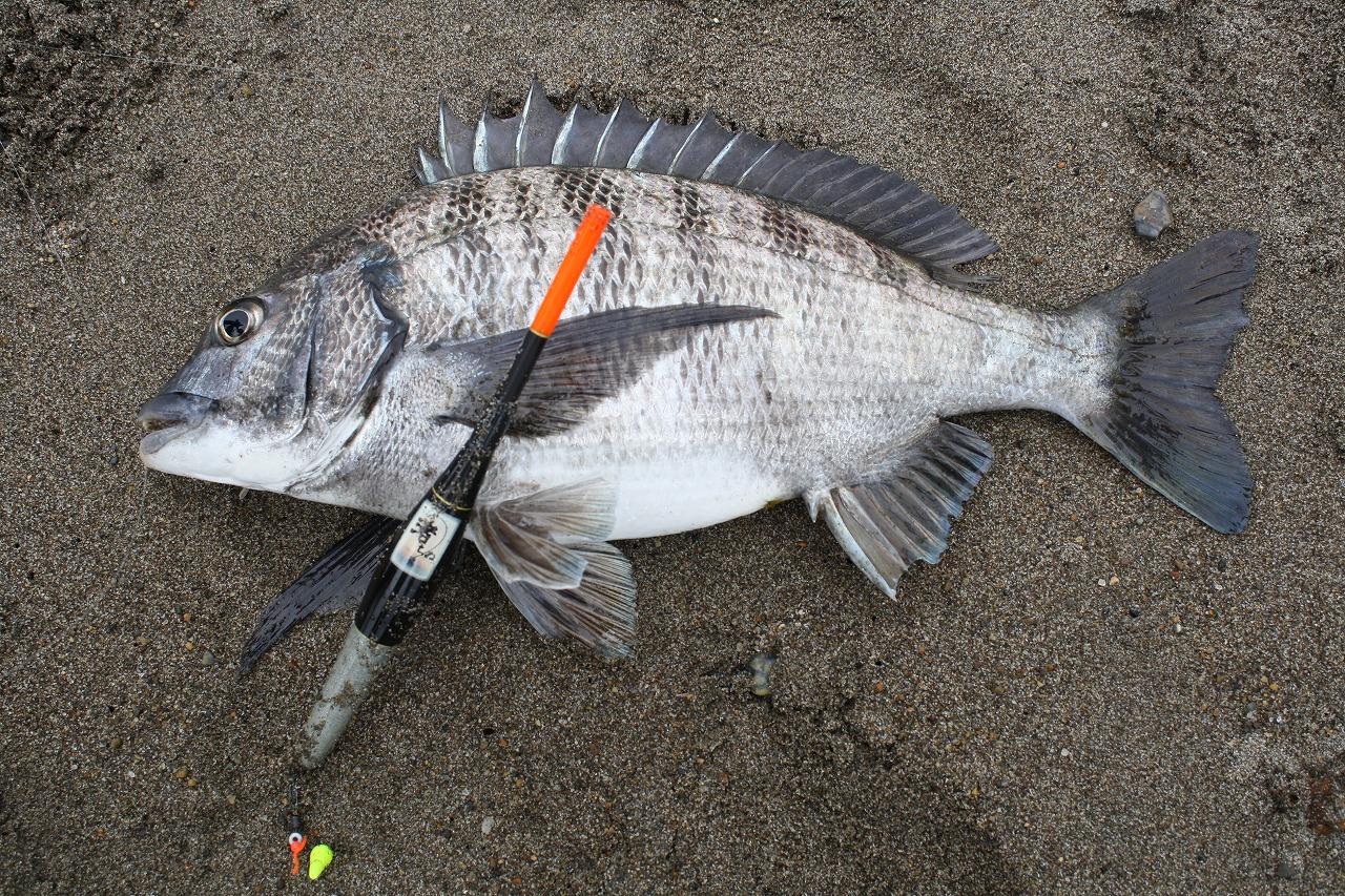 新潟県柏崎 荒浜でのクロダイの渚釣り